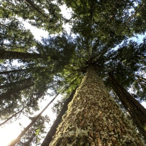 Giant tree looking up by Carrie Hawthorne (2)