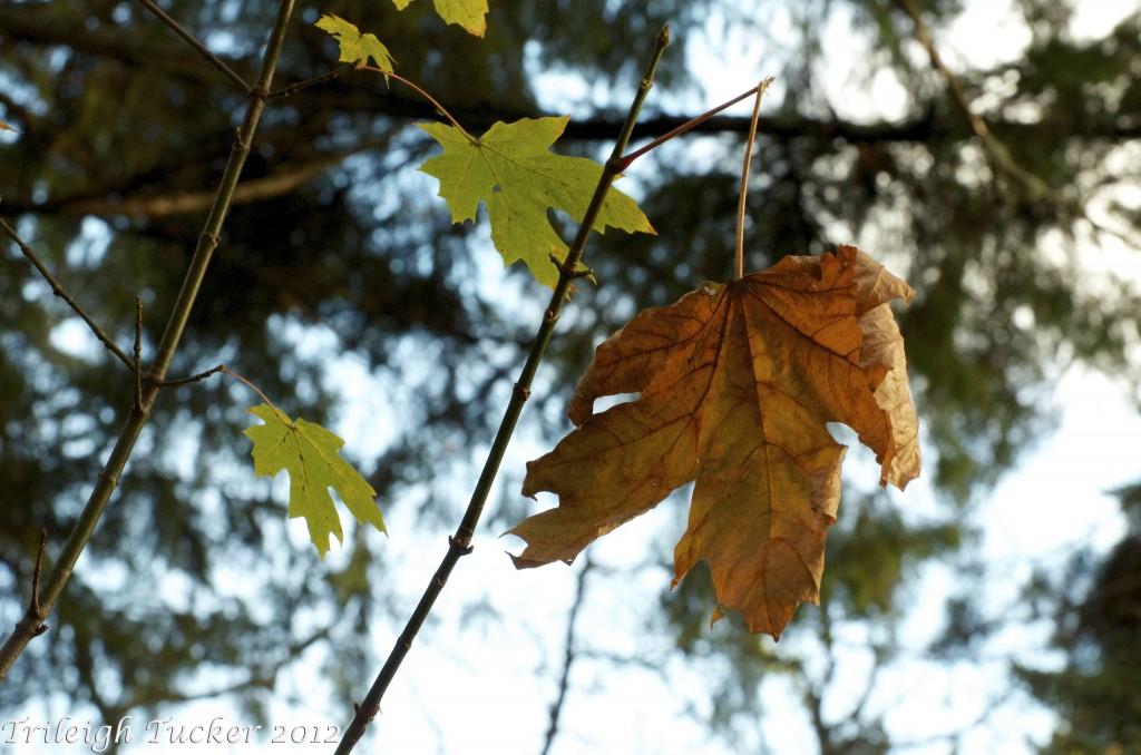 Big Leaf Maple fall leaf