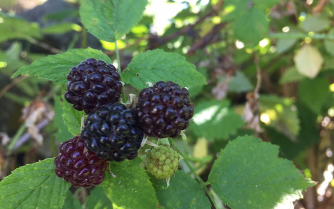 Get to Know Your Native Berries!
