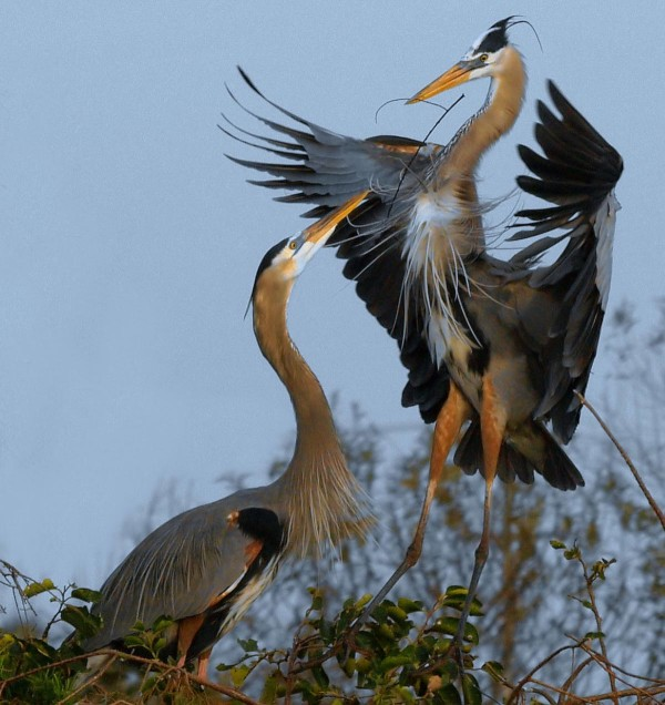 The Herons of Commodore Park