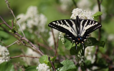 Native Plants for Attracting Native Pollinators
