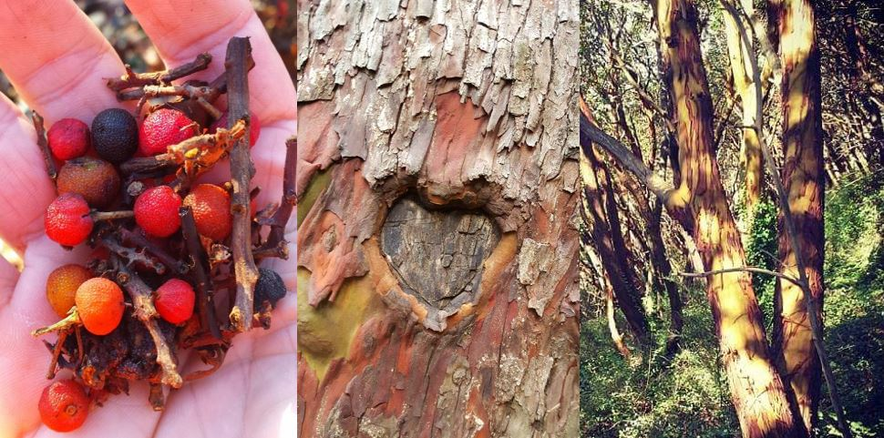 Because, Madrone